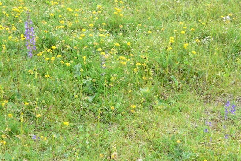 Ophrys argensonensis  Lussac le Chateau P1200211