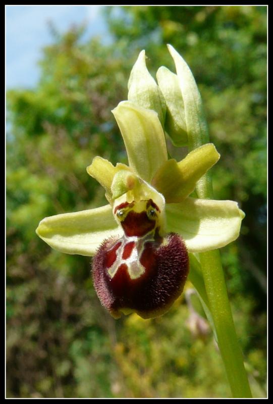 Ophrys argensonensis  Lussac le Chateau P1200213
