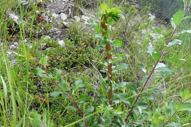 Epipactis purpurata P1200711
