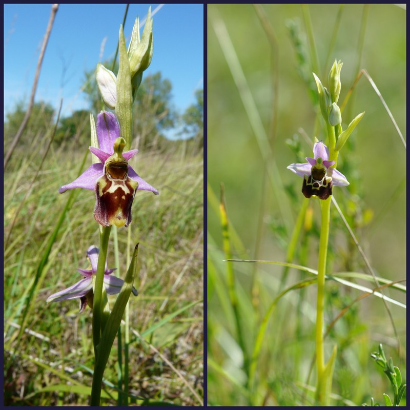 Oussiat et ses Ophrys elatior Select11