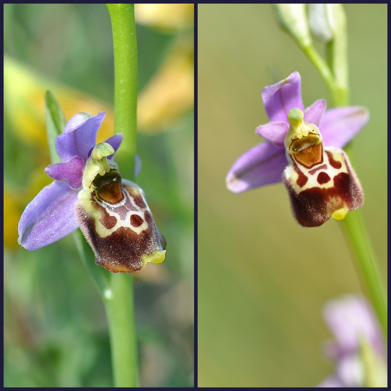 Oussiat et ses Ophrys elatior Select12