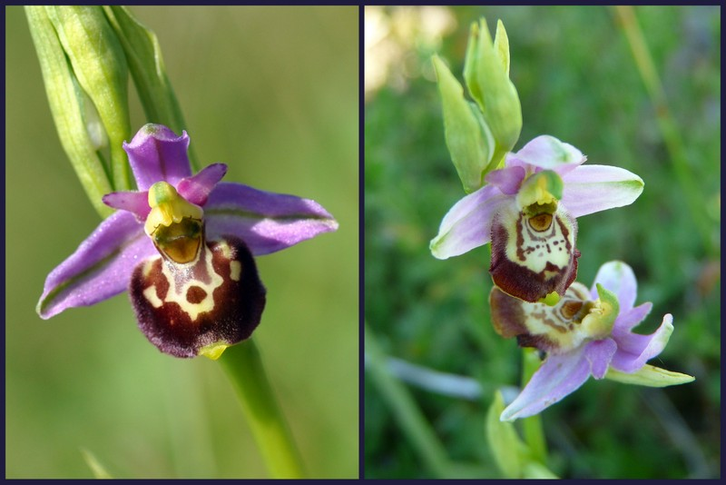 Oussiat et ses Ophrys elatior Select13