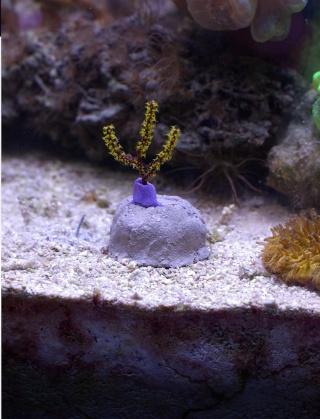 Coraux non-symbiotiques Imgp4214