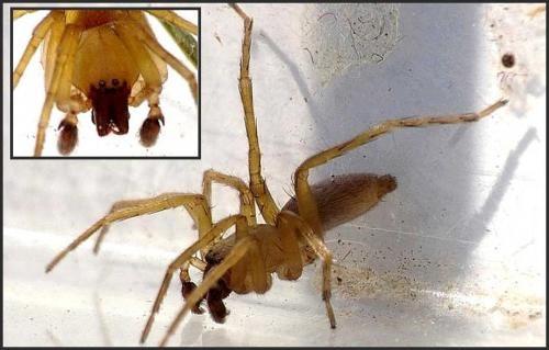 50 Cent adore cette famille d'araignée... (Clubiona cf. terrestris) Imgp1010