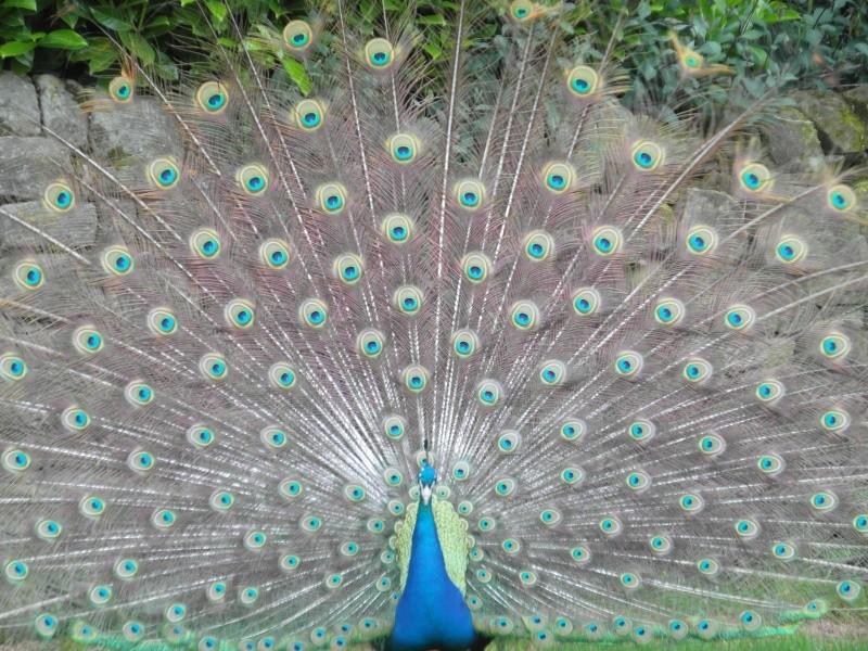 Peacocks Sam_0813