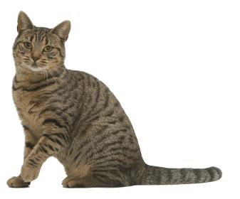 Le chat européen (rebaptisé european Shortair en 2007) Europe10
