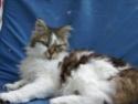 Le chat européen (rebaptisé european Shortair en 2007) Ssa50410