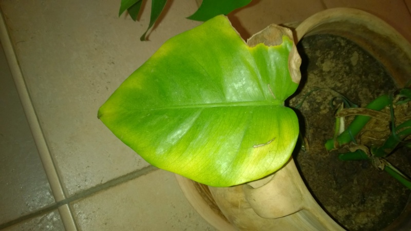 Philondendron feuilles marron Wp_20128