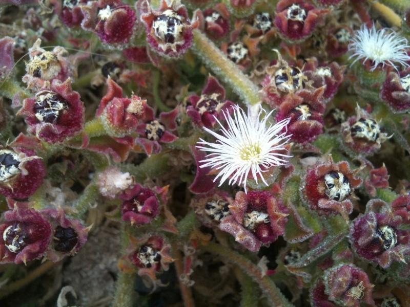 Mesembryanthemum crystallinum 1201010