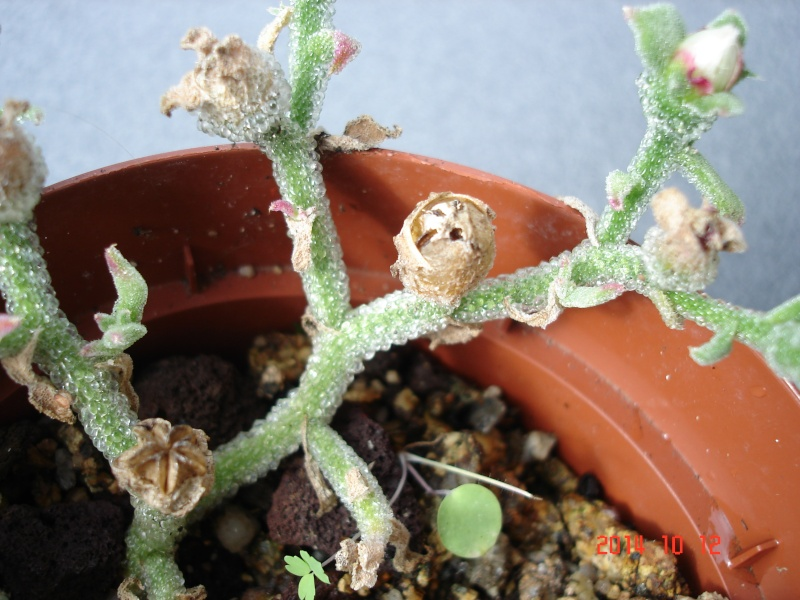 Mesembryanthemum crystallinum Dsc07957