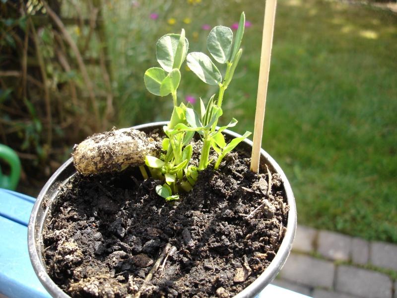 Erdnuss (Arachis hypogaea) - Aufzucht, Pflege und Photos Dsc08310