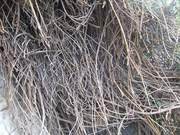 Senecio angulatus Dscf0011