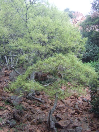 Celtis australis - micocoulier - Page 2 Dscf0210