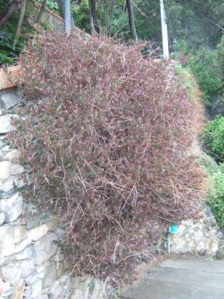 Capparis spinosa - câprier Dscf0513