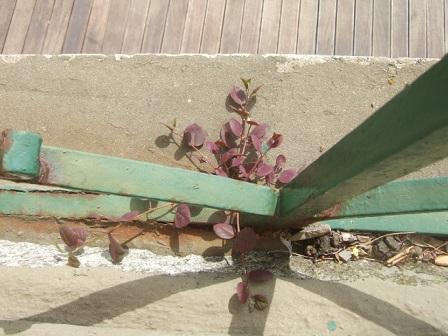 Capparis spinosa - câprier Dscf0614