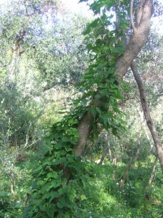 Dioscorea communis - herbe aux femmes battues, tamier commun Dscf0817