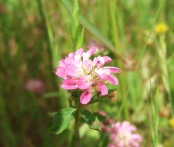 Trifolium resupinatum - trèfle résupiné Dscf1511