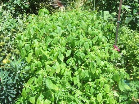 Impatiens parviflora - balsamine à petites fleurs Dscf1924