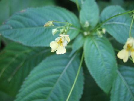 Impatiens parviflora - balsamine à petites fleurs Dscf1925