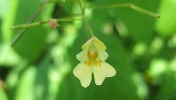 Impatiens parviflora - balsamine à petites fleurs Dscf1926