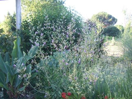 Salvia candelabrum Dscf2015