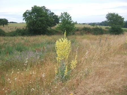 Verbascum pulverulentum - molène floconneuse Dscf2036