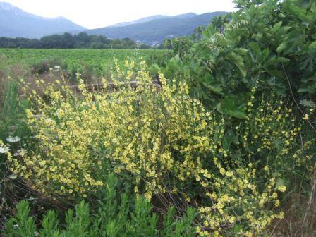 Verbascum sinuatum - molène sinuée Dscf2127