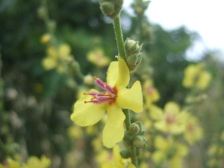 Verbascum sinuatum - molène sinuée Dscf2128