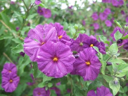 Solanum rantonnetii - Page 2 Dscf2139