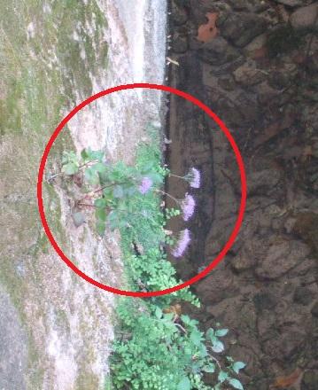 Trachelium caeruleum Dscf2226
