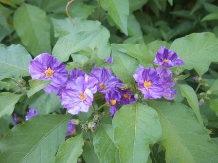 Solanum rantonnetii - Page 2 Dscf2229