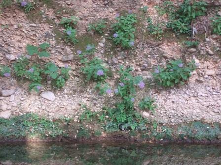 Trachelium caeruleum Dscf2316