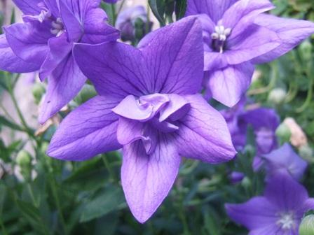 Platycodon grandiflorus - platycodon à grandes fleurs Dscf2324