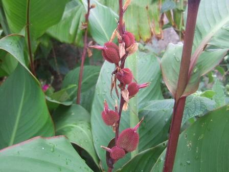 Canna musafolia Dscf2435