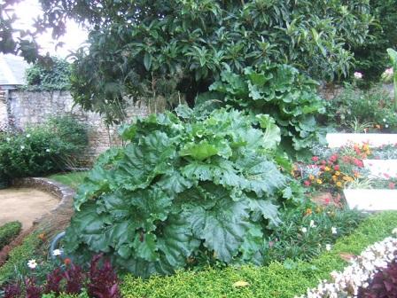 Rheum - rhubarbes ornementales  Dscf2510