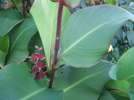 Canna musafolia Dscf2513