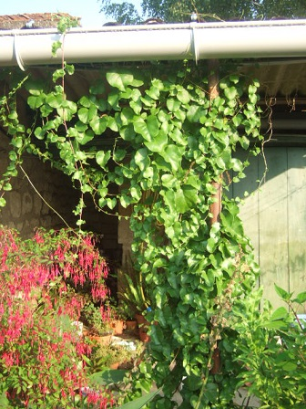 Anredera cordifolia (= Boussingaultia baselloides) - boussingaultie - Page 2 Dscf2726