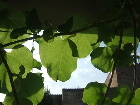 Anredera cordifolia (= Boussingaultia baselloides) - boussingaultie - Page 2 Dscf2728
