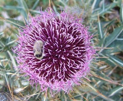 Cirsium eriophorum - cirse laineux Dscf2744