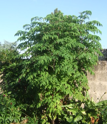 Dahlia imperialis - Page 2 Dscf2813
