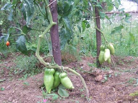 Solanum lycopersicum - les tomates - Page 4 Dscf2825