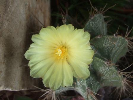 Astrophytum ornatum Dscf2918