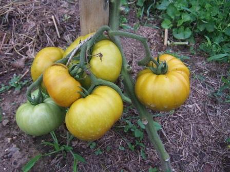 Solanum lycopersicum - les tomates - Page 4 Dscf2919
