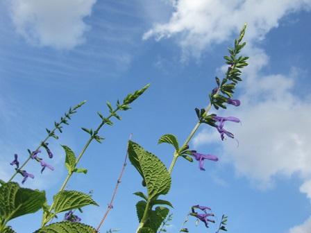 Salvia ianthina Dscf3032