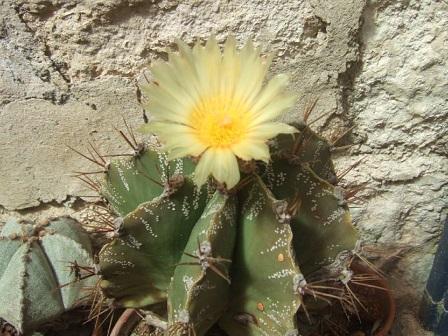 Astrophytum ornatum Dscf3116