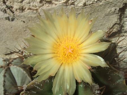 Astrophytum ornatum Dscf3117