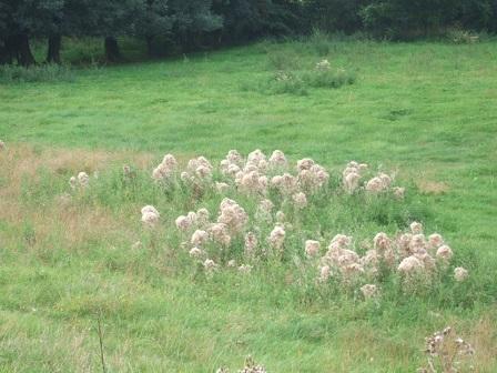 Cirsium arvense - chardon des champs Dscf3122