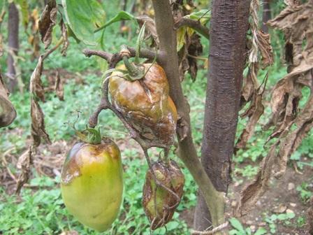 Solanum lycopersicum - les tomates - Page 5 Dscf3136