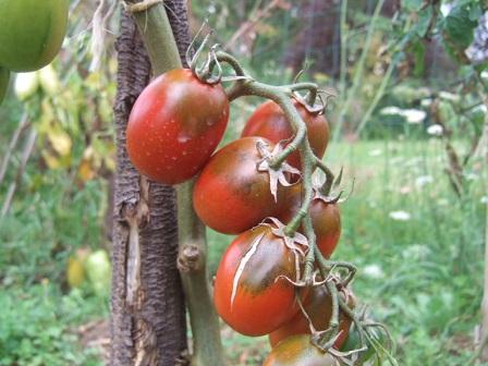 Solanum lycopersicum - les tomates - Page 5 Dscf3137