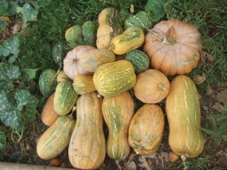 Cucurbitaceae - Cucurbitacées Dscf3224